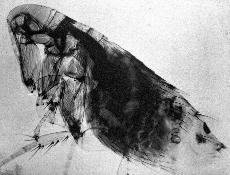 Flea, Archives of the Lister Institute (1886–1982). Courtesy of the Wellcome Library, London.