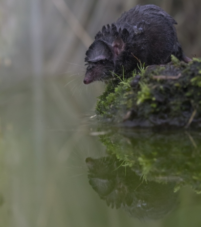 water shrew portrait while on ground beside water reflection.