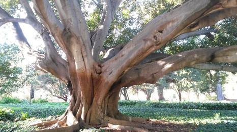 The largest tree on the UWA campus